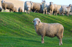 Flock of sheeps on the meadow in spring time Stock Images