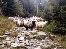 Flock of sheeps. On a mountain path Royalty Free Stock Photography