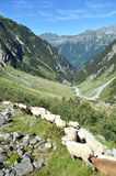 Flock of sheeps in the mountains. Near Trift glacier. Switzerland Royalty Free Stock Photography
