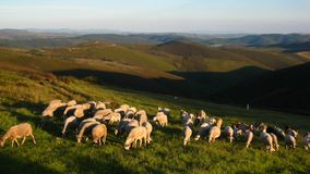 Flock of sheeps mountains in sunset hour Royalty Free Stock Images