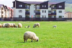 Flock of sheeps near blocks Royalty Free Stock Photos