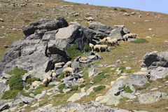 Flock of sheeps in Pyrenees orientales Stock Photography
