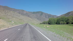 Flock of sheeps runs across the highway. Chuysky Trakt in the Altai Mountains stock video footage