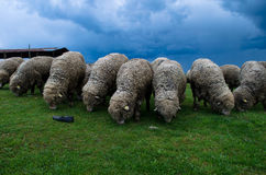 Flock of sheeps royalty free stock photography