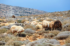 Flock of sheeps Royalty Free Stock Image