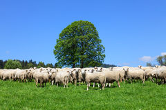 Flock of sheeps Stock Image