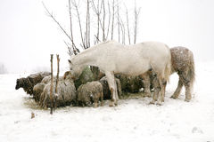 Flock of sheeps Skudde and horses eating hay Stock Image