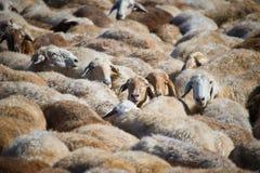 Flock of sheeps Stock Photos