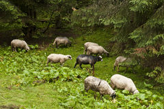 Flock of sheeps on a subalpine meadow. In the carpathian mountains Stock Image