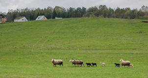 Flock of sheeps in the suburb of Minsk Stock Photo