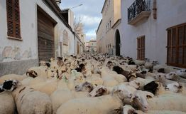 Flock of sheeps at Saint anthony animals blessing day. A flock of sheeps walks the streets of the village before being blessed by a priest in Muro in the island Royalty Free Stock Image
