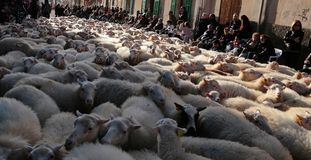 Flock of sheeps at Saint anthony animals blessing day. A flock of sheeps walks the streets of the village before being blessed by a priest in Muro in the island Royalty Free Stock Images