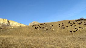 Flock of sheeps on the hills. Flock of sheeps on the winter hills Royalty Free Stock Photo