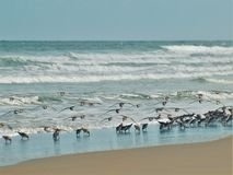 Beach Birds Taking Flight at New Smyrna Beach stock photo