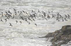 Flock of shorebirds in flight over sea. Flock of shorebirds in flight over rough sea. Northern portuguese coast Royalty Free Stock Photography