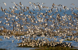 A flock of shorebirds. Including western sandpipers and dunlin off shore during migration Royalty Free Stock Photos