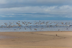 A flock of shorebirds. At  Yamal, Russia Stock Image