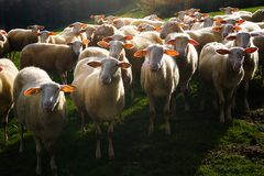 Flock of shorn sheep. Flock of a shorn sheep Royalty Free Stock Photo