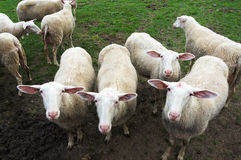 Flock of shorn sheep. Staring Stock Photo