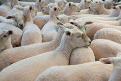 Flock of shorn sheep in a temporary paddock. After shearing Royalty Free Stock Photos