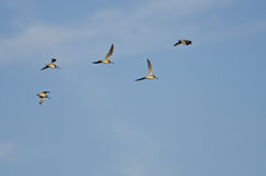 Flock of Short-Billed Dowitchers Flying in a Blue Sky Stock Photos