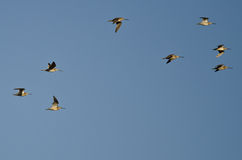 Flock of Short-Billed Dowitchers Flying in a Blue Sky. Flock of Short-Billed Dowitchers Flying in a Clear Blue Sky Royalty Free Stock Photo