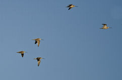 Flock of Short-Billed Dowitchers Flying in a Blue Sky Stock Photography