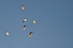 Flock of Short-Billed Dowitchers Flying in a Blue Sky. Flock of Short-Billed Dowitchers Flying in a Clear Blue Sky Royalty Free Stock Images
