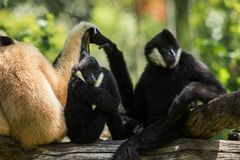 Flock of siamang gibbon on tree branch. Flock of siamang    gibbon on tree branch Royalty Free Stock Photos