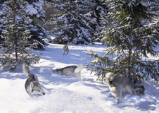 A flock of Siberian Husky among the snow-covered firs Stock Images