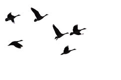 Flock of Silhouetted Geese Flying Against a White background Stock Images