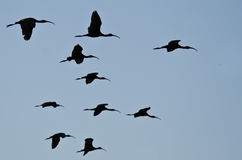 Flock of Silhouetted White-Faced Ibis Flying in a Blue Sky Stock Photo