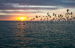 Flock of skimmers at sunset Royalty Free Stock Photo