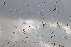 Flock, Sky, Bird Migration, Bird royalty free stock photography