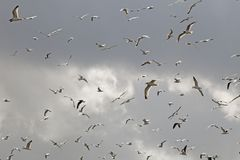 Flock, Sky, Bird Migration, Bird royalty free stock image