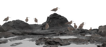 Flock of slender-billed curlews Royalty Free Stock Photography