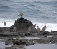 Flock of slender-billed curlews Royalty Free Stock Image