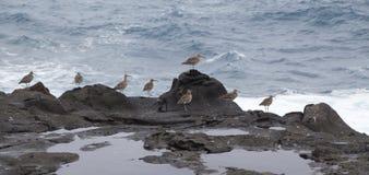 Flock of slender-billed curlews Royalty Free Stock Photos