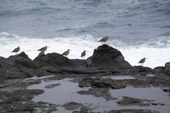 Flock of slender-billed curlews Stock Images