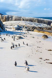 Flock of small African penguins at Boulder Beach Royalty Free Stock Photos