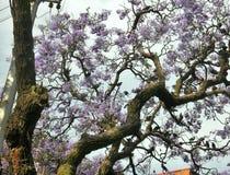 Flock of small birds on Jacaranda  tree full of blooming flowers Stock Photo
