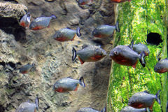 A flock of small blue red fish Royalty Free Stock Images