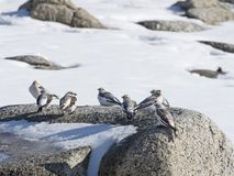 Snow buntings on a rock Stock Photography