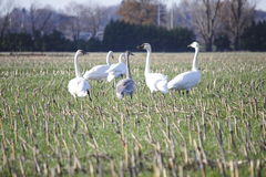 Flock of Snow Geese Royalty Free Stock Images