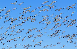 Flock of Snow Geese Stock Photography