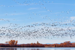 Flock of Snow Geese Stock Photos