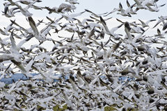 Flock of Snow Geese Stock Images
