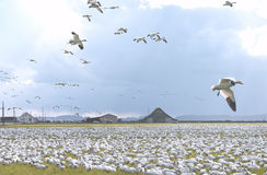 Flock of Snow Geese. Resting on ground and in flight Stock Images