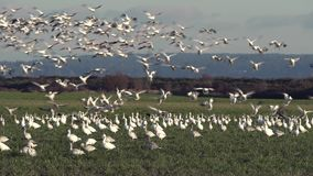 Pacific Northwest Snowgeese zoom 4K UHD stock video footage