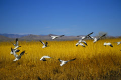 Flock of Snow Geese in Flight Stock Photos